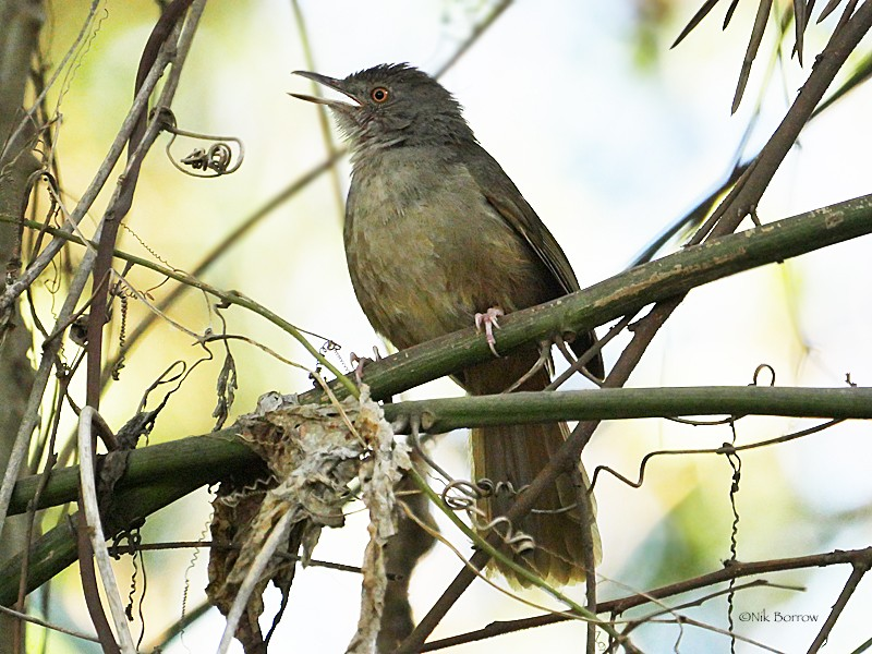 Grey-olive Greenbul perched