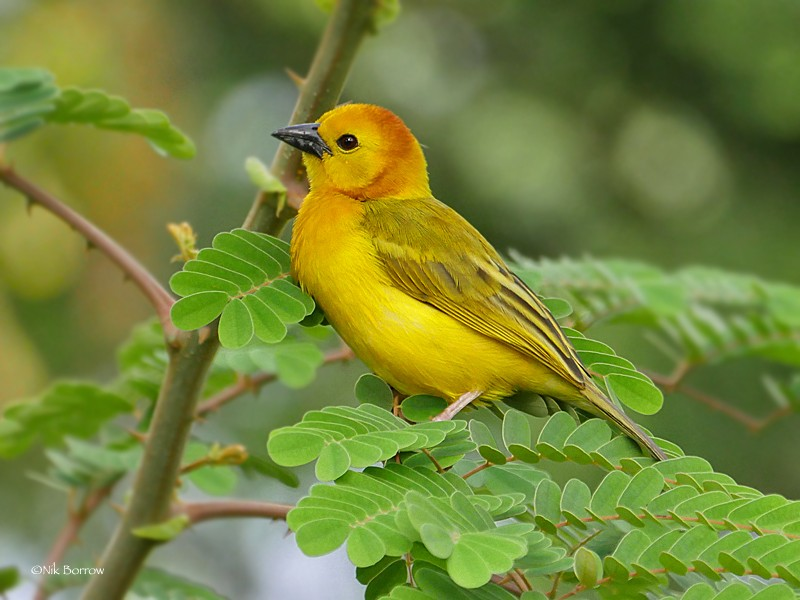 Taveta Golden Weaver perched