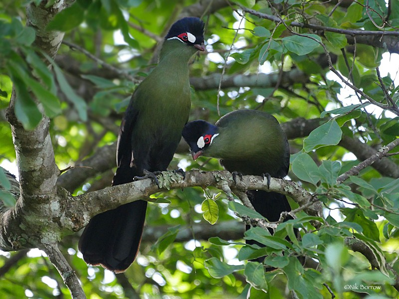 Hartlaub's Turaco pair perched