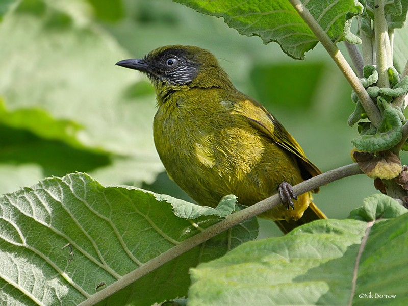 Stripe-faced Greenbul