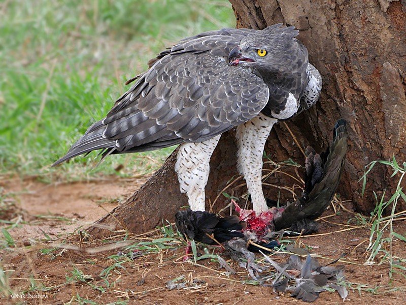 adult with prey