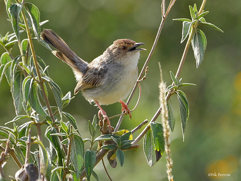 this form distinctus is sometimes split as Lynes's Cisticola