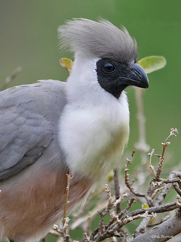 'Black-faced' Go-away-bird ssp leopoldi