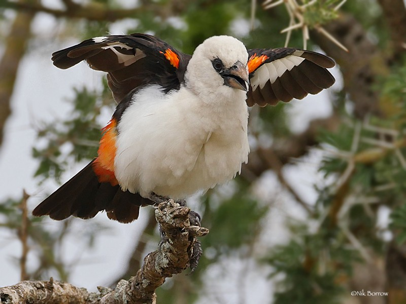 White-headed Buffalo Weaver ssp boehmi displaying