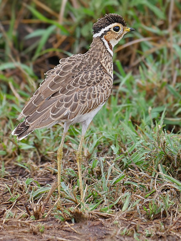 Three-banded Courser ssp emini