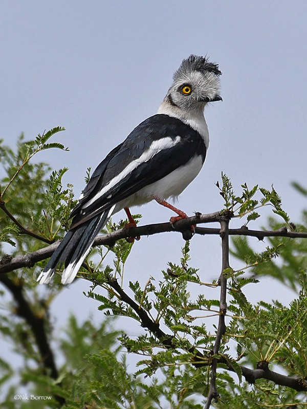 Grey-crested Helmetshrike