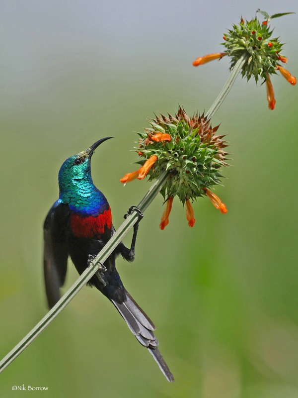 male Red-chested Sunbird on Leonotis