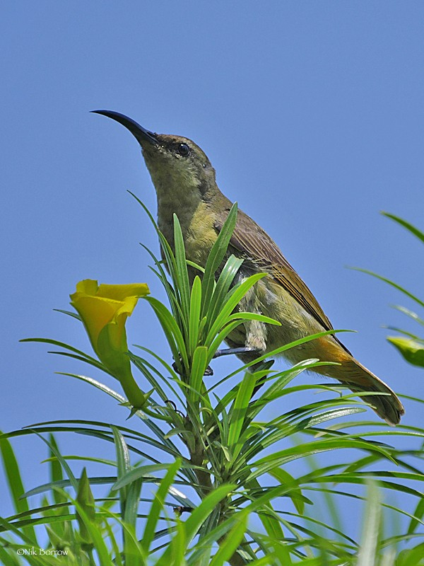 female Superb Sunbird