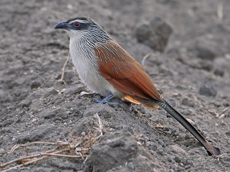 White-browed Coucal ssp loandae
