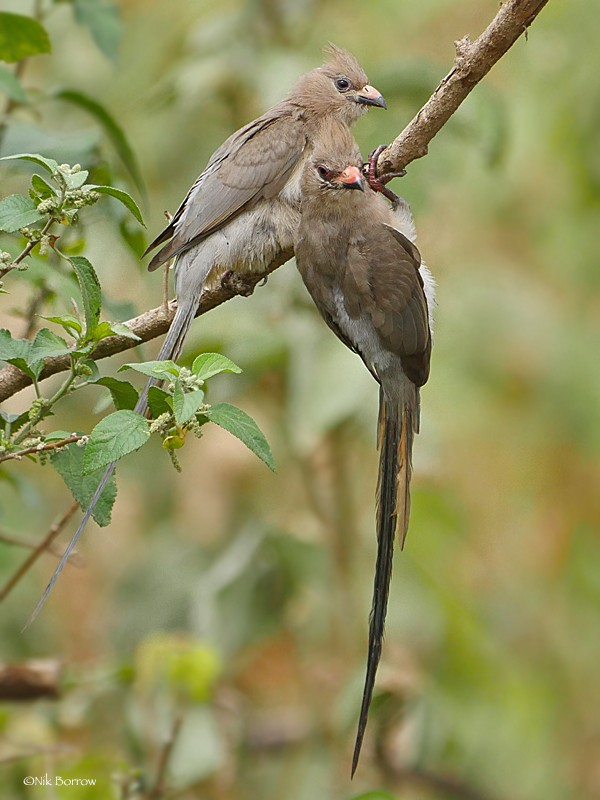 Blue-naped Mousebird ssp griseogularis