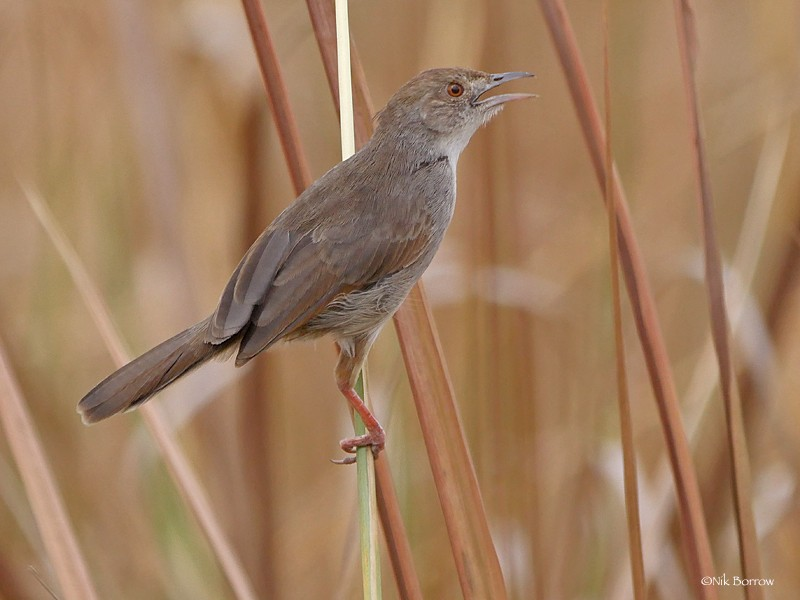 Trilling Cisticola nominate race
