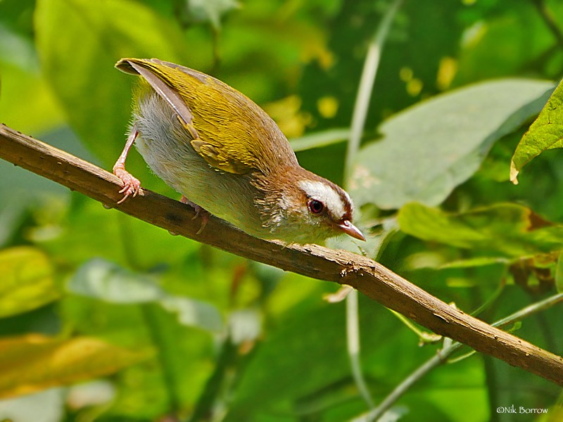 White-browed Crombec ssp chloronota