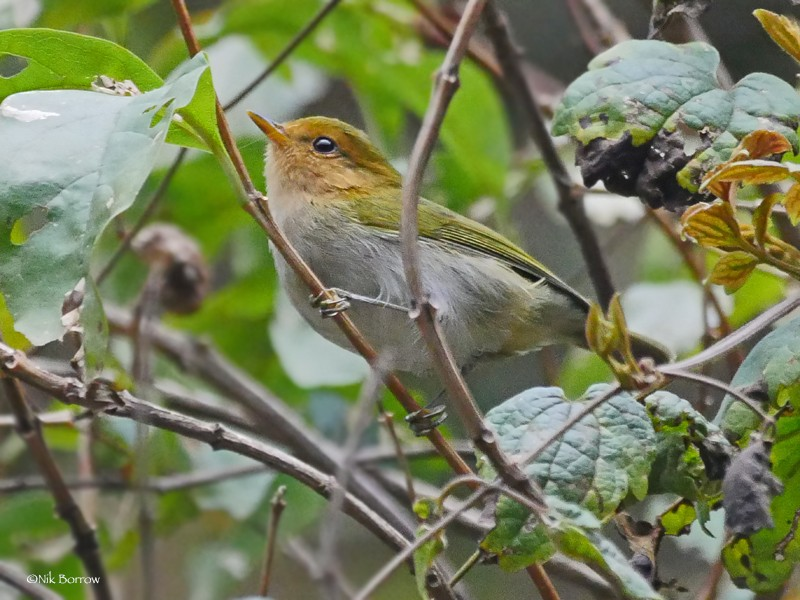 Red-faced Woodland Warbler nominate race