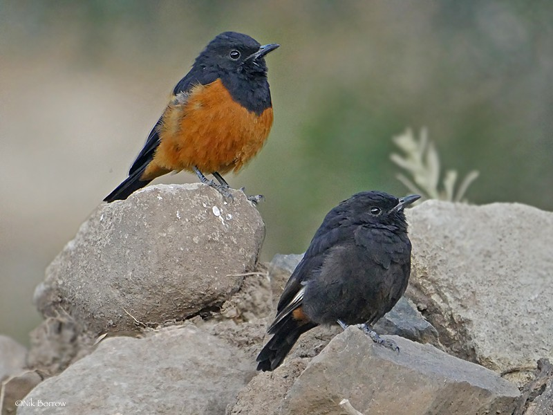 White-winged Cliff Chat