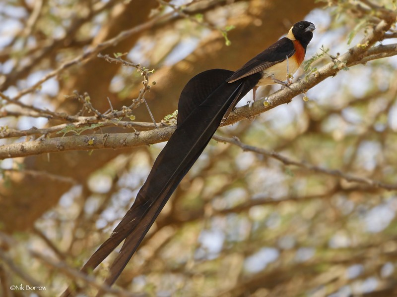 aka Long-tailed Paradise Whydah