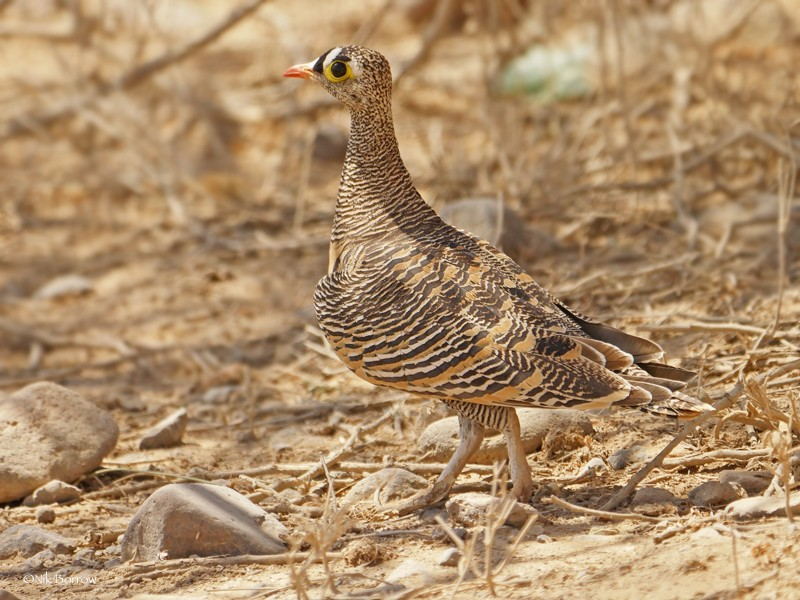Lichtenstein's Sandgrouse nominate race