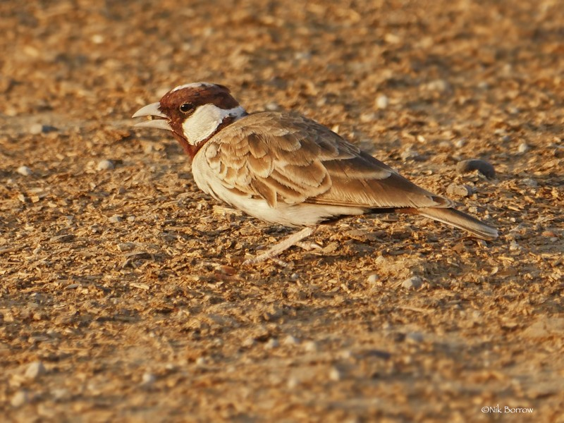 Chestnut-headed Sparrow-Lark ssp signatus