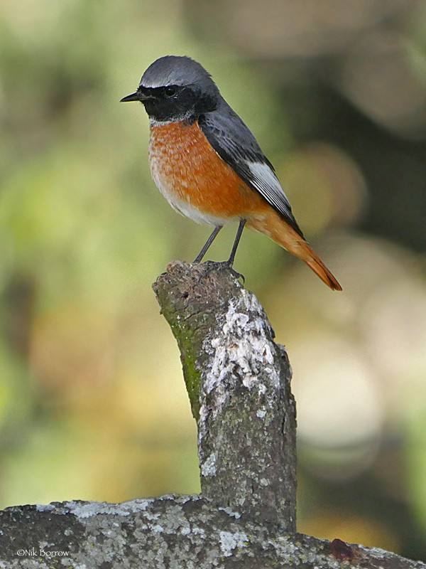 Common Redstart ssp samamisicus