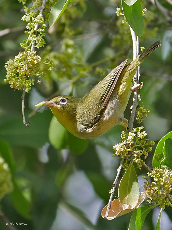 Abyssinian White-eye ssp abyssinicus