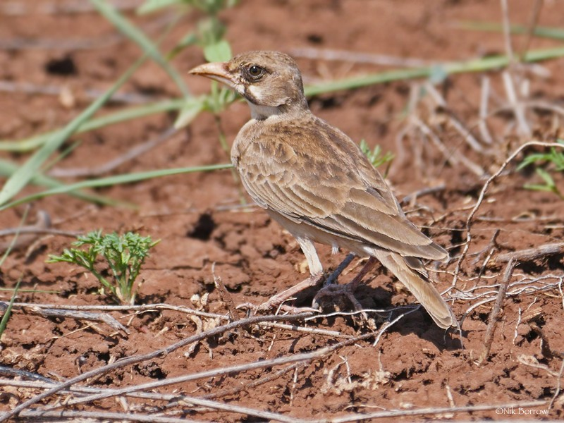 Masked Lark; presumably the race yavelloensis