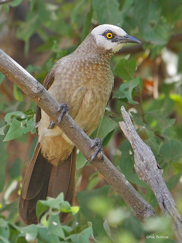 White-headed Babbler
