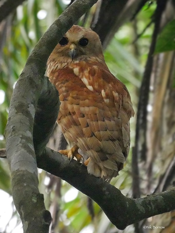 Rufous Fishing Owl