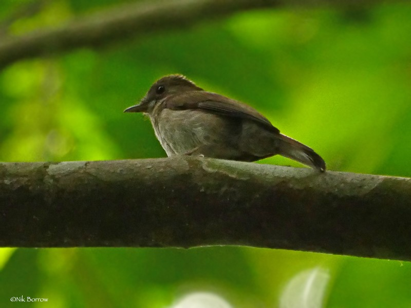Olivaceous Flycatcher ssp olivascens