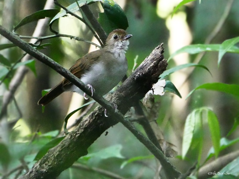 Rufous-winged Illadopsis