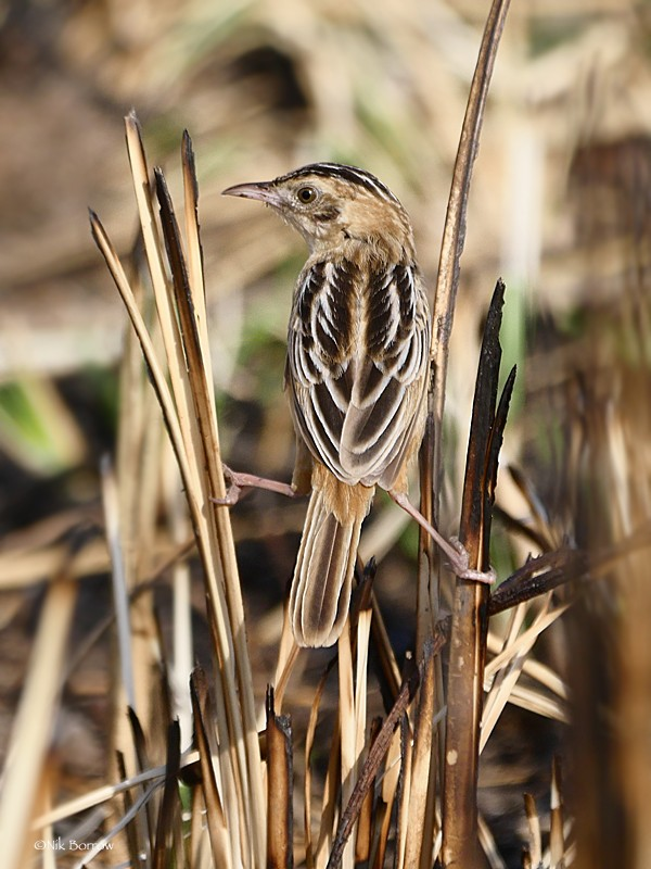 Black-backed Cisticola ssp occidens