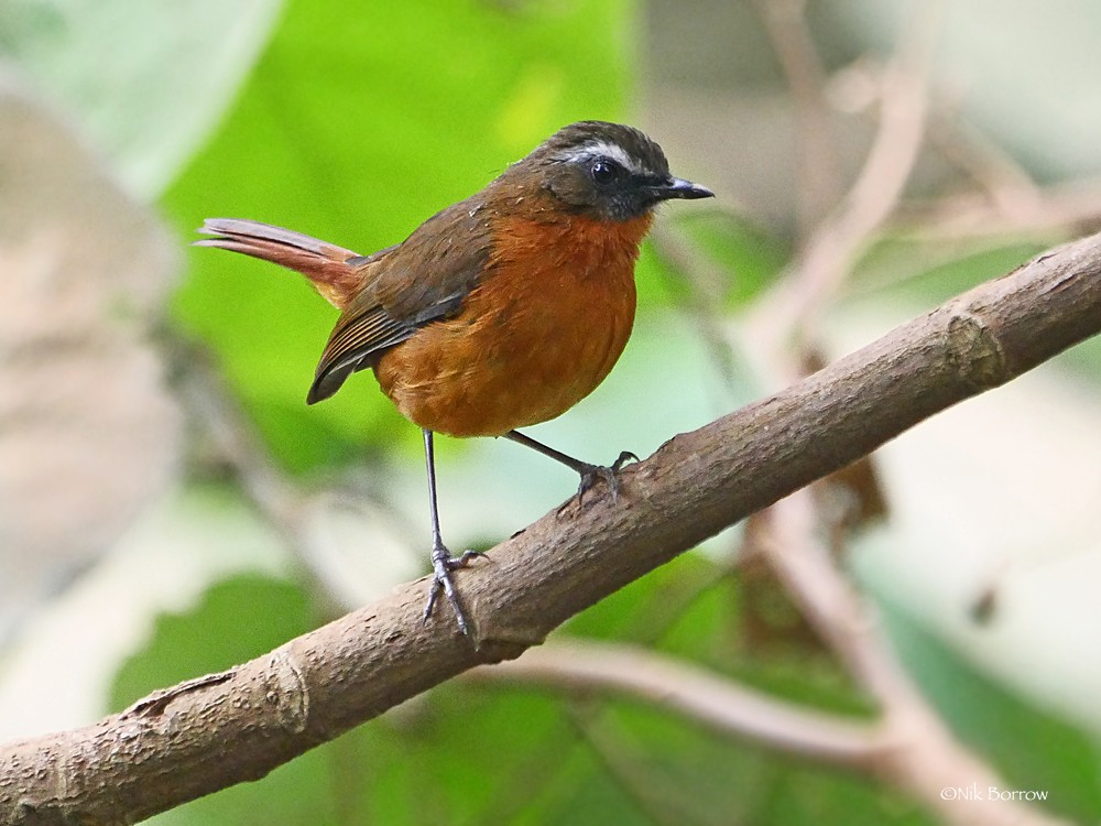 Archer's Ground Robin nominate race