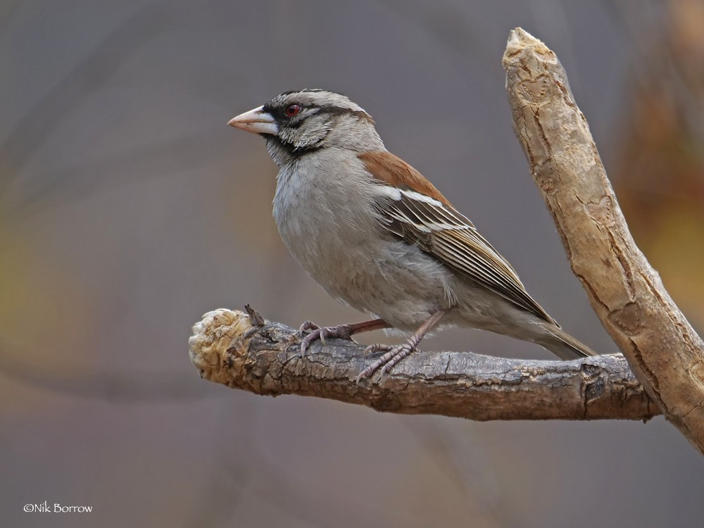 Chestnut-backed Sparrow-weaver