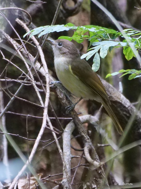 Sometimes split as Sharpe's Greenbul P. alfredi