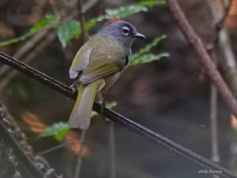 Black-browed Mountain Greenbul sup fusciceps