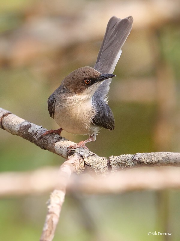 Brown-headed Apalis ssp alticola