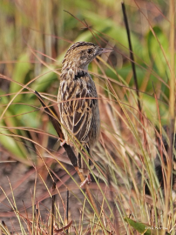 Wing-snapping Cisticola ssp ayresii
