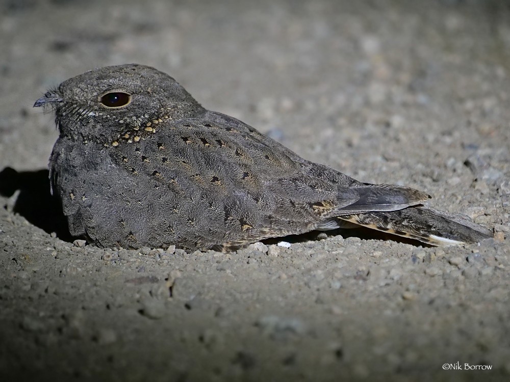 Star-spotted Nightjar