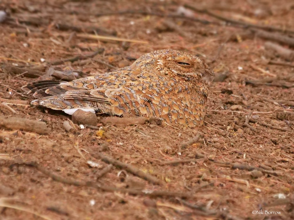Golden Nightjar ssp simplicior