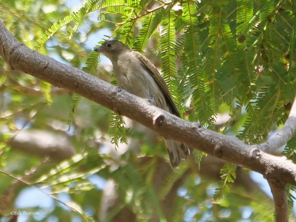 Willcocks's Honeyguide