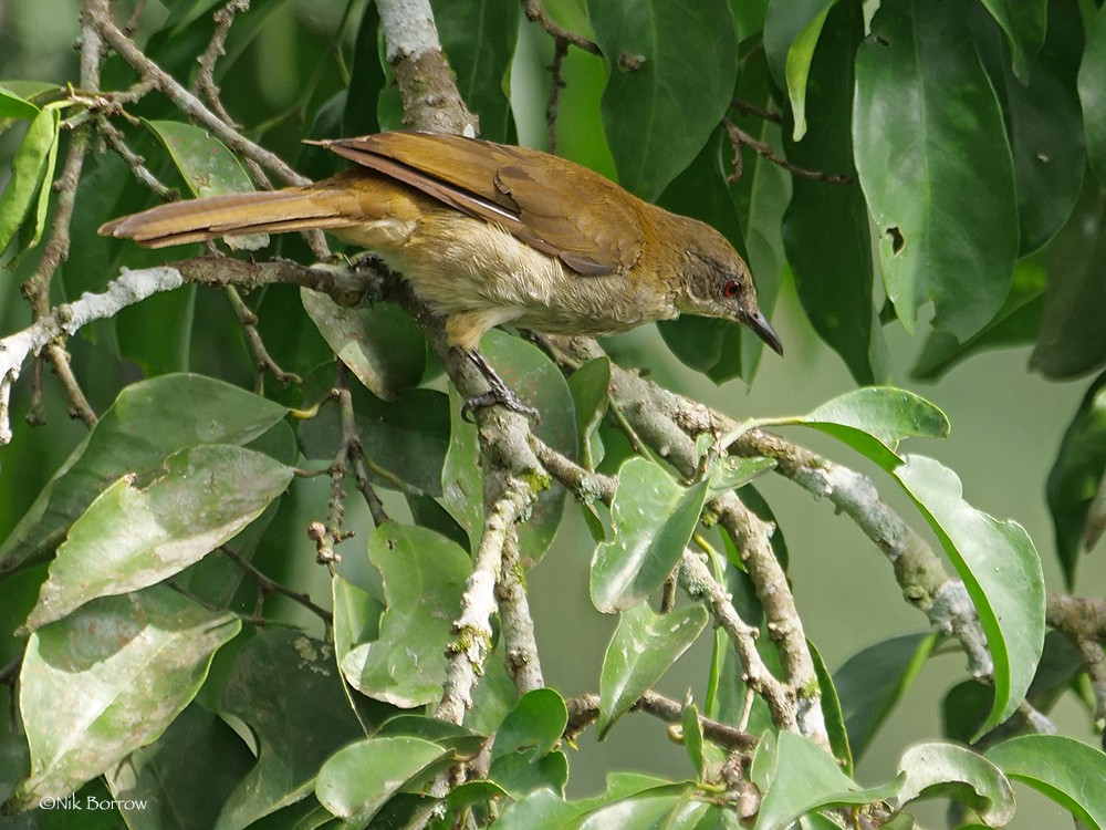 Slender-billed Greenbul - nominate race