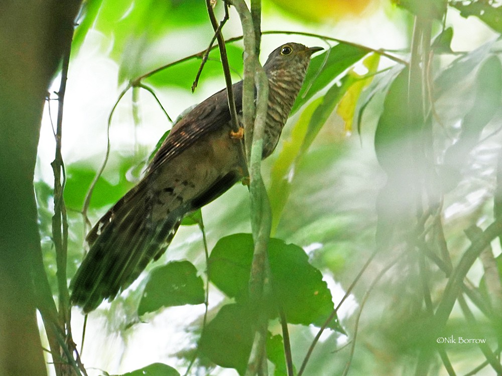The 'occidentalis' form of Dusky Long-tailed Cuckoo