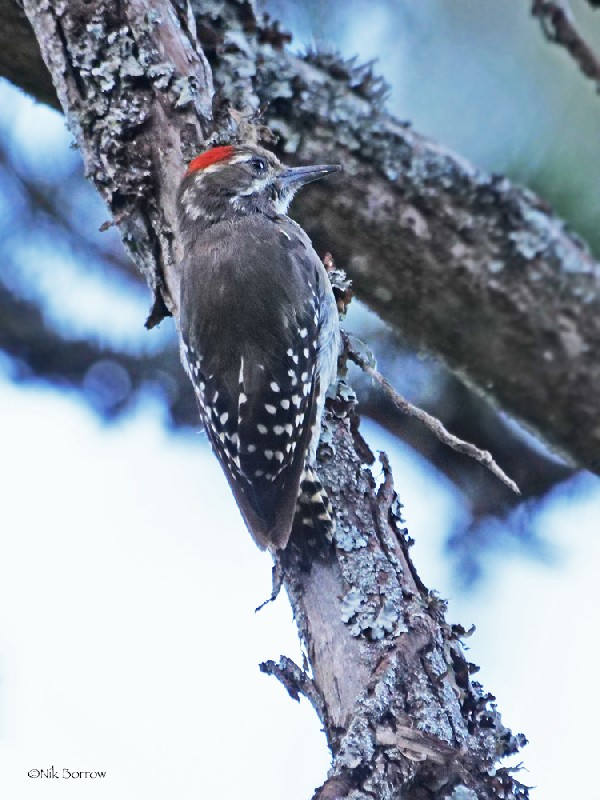 Brown-backed Woodpecker ssp crateri