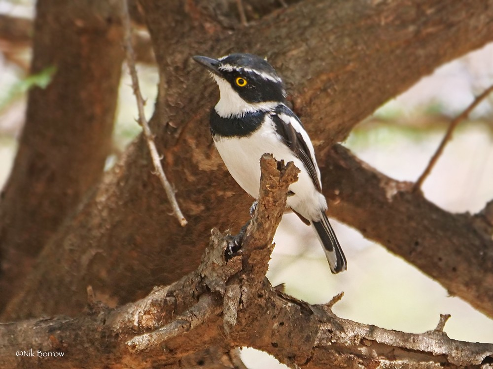 Eastern Black-headed Batis ssp suahelica