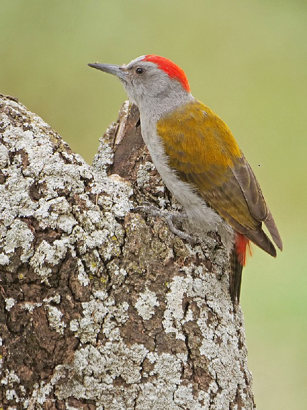 Eastern Grey Woodpecker ssp rhodeogaster