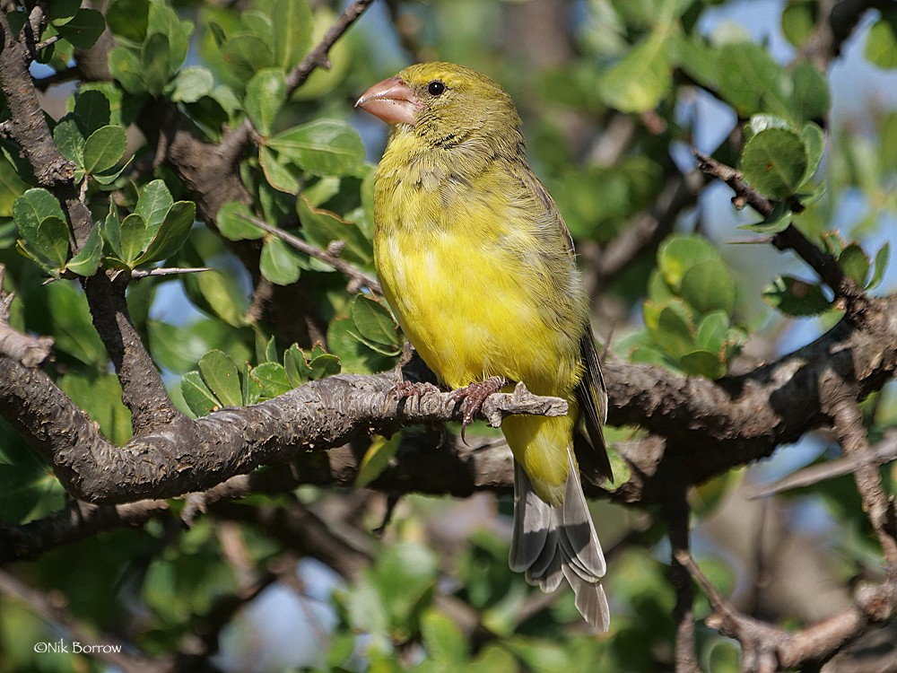 Southern Grosbeak-Canary