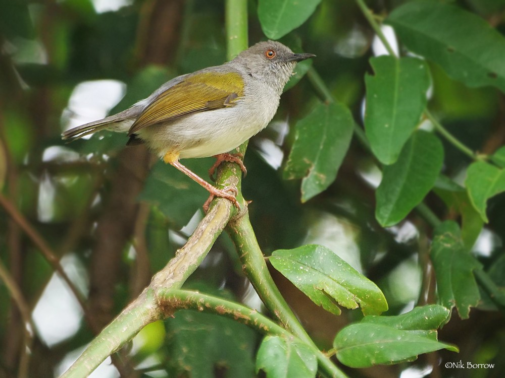 Grey-backed Camaroptera ssp tincta