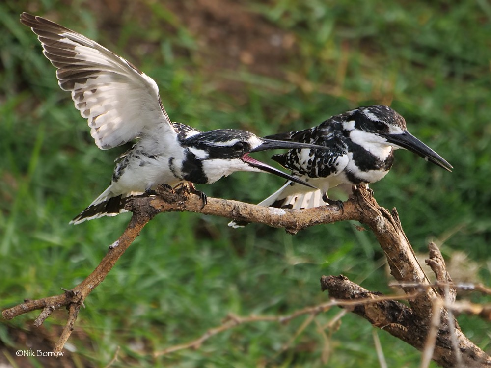 Pied Kingfisher nominate race
