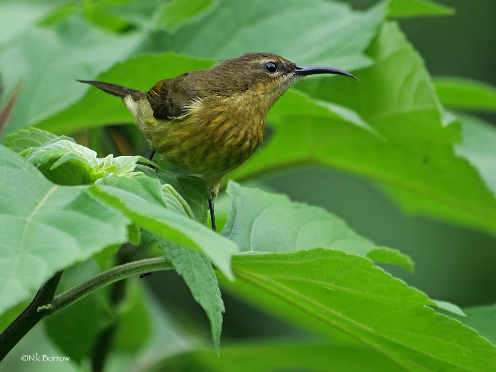 Northern Double-collared Sunbird nominate race