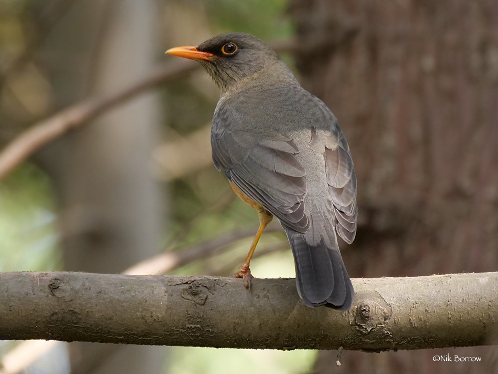 Abyssinian Thrush nominate race