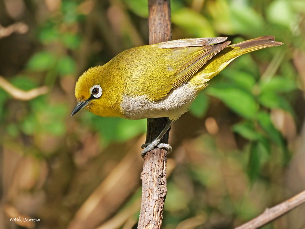 Heuglin's White-eye race poliogastrus
