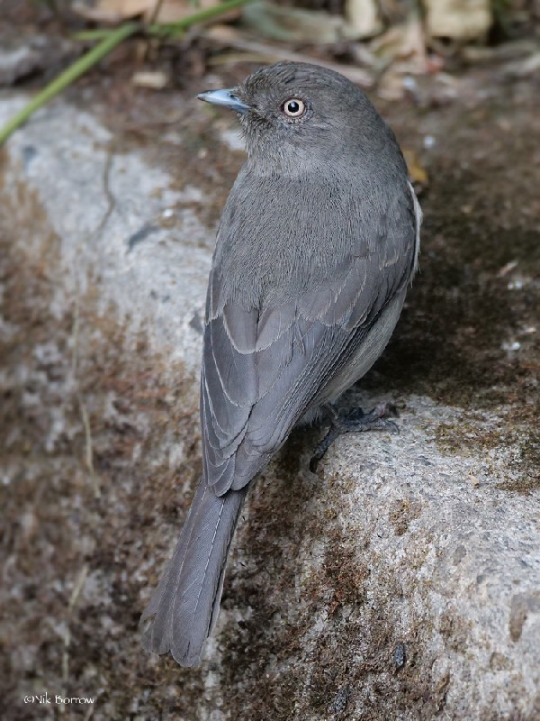 Abyssinian Slaty Flycatcher nominate race